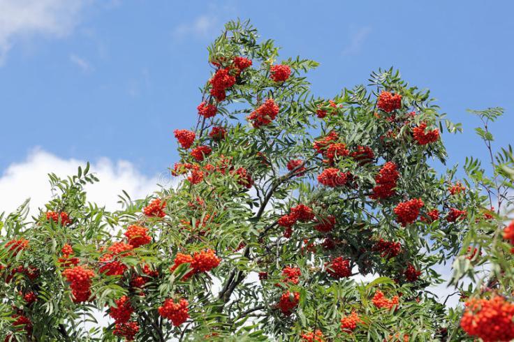 branches-avec-les-sorbes-m-res-aucuparia-de-sorbus-50756117