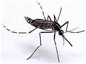 chikungunya_large