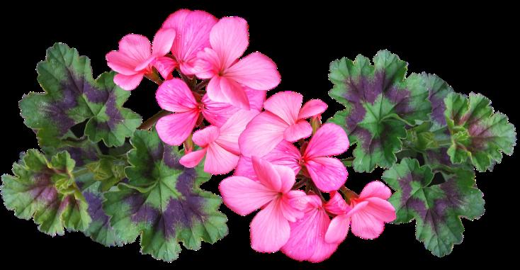 geranium-3618269_1280