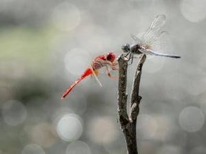 deux-libellules-rouges-bleues_77206-68